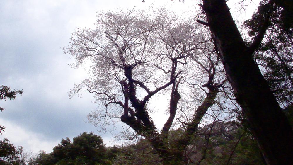 edohigan by yuko cropped