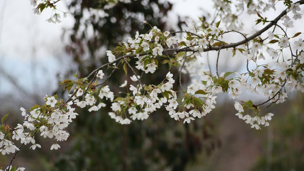 oshima zakura by gtknj cropped