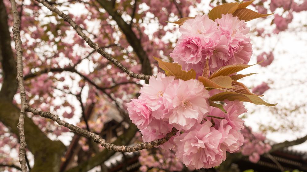 yaezakura by Yoshikazu TAKADA cropped